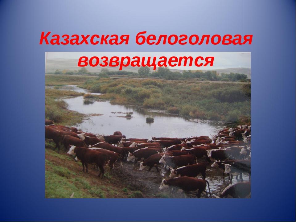 Казахская белоголовая возвращается