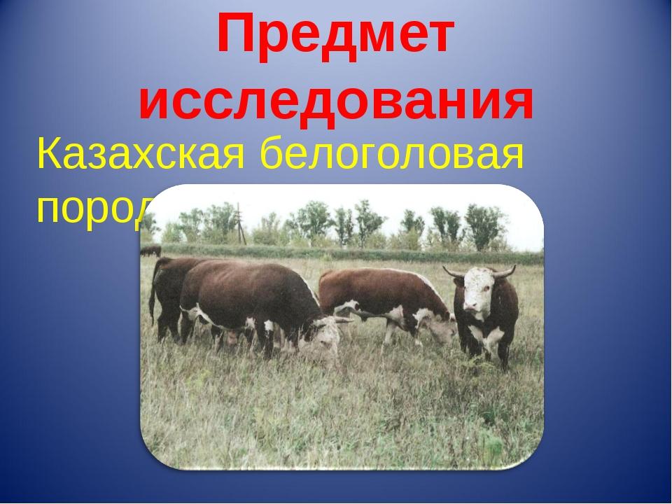 Предмет исследования Казахская белоголовая порода