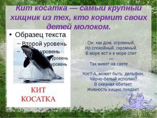 Кит косатка — самый крупный хищник из тех, кто кормит своих детей молоком. Он