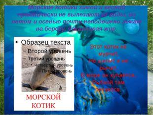Морские котики зимой и весной практически не вылезают из воды, но летом и осе