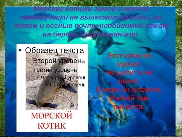 Морские котики зимой и весной практически не вылезают из воды, но летом и осе...