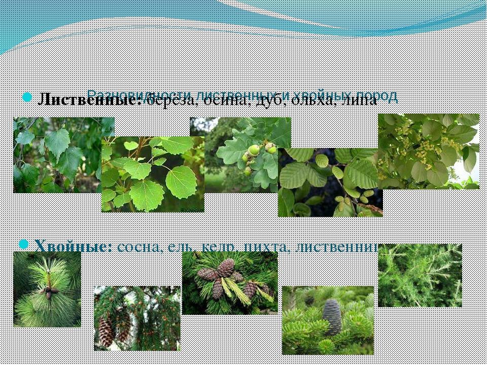 Разновидности лиственных и хвойных пород Лиственные: берёза, осина, дуб, ольх...