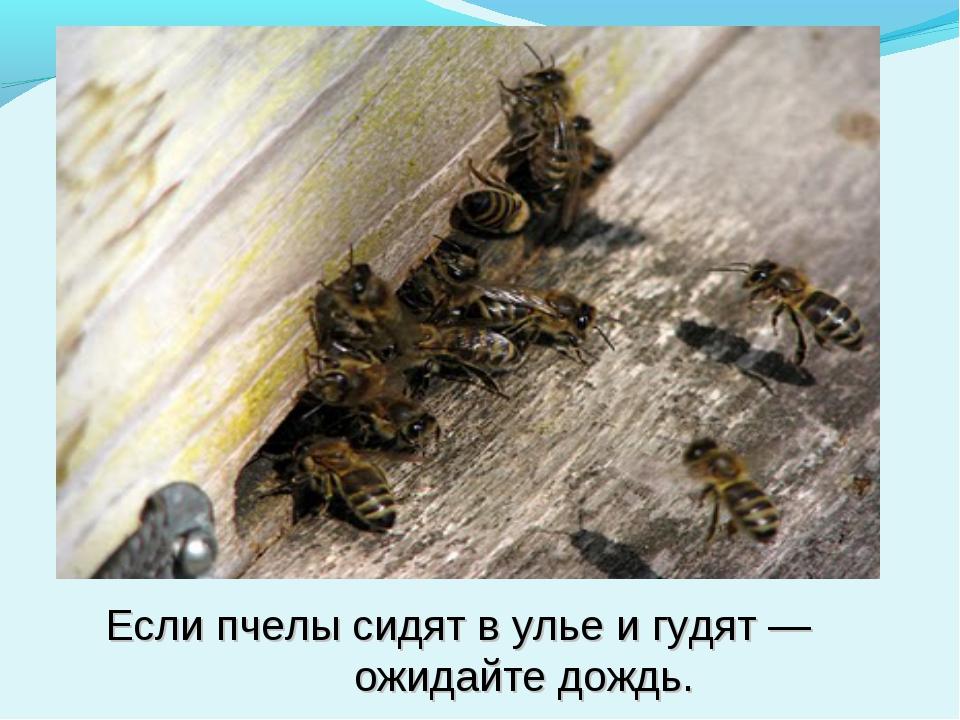 Если пчелы сидят в улье и гудят — ожидайте дождь.