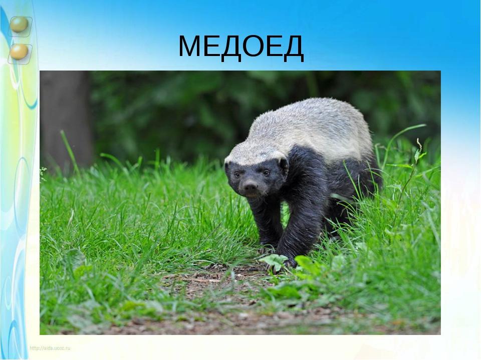 МЕДОЕД