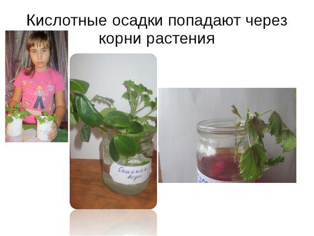 Кислотные осадки попадают через корни растения
