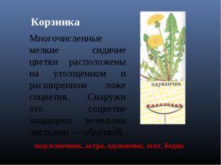 Корзинка Многочисленные мелкие сидячие цветки расположены на утолщенном и рас