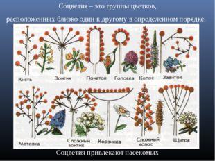 Соцветия – это группы цветков, расположенных близко один к другому в определе