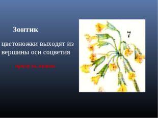 Зонтик цветоножки выходят из вершины оси соцветия примула, вишня