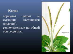 Колос образуют цветки не имеющие цветоножек (сидячие), расположенные на общей