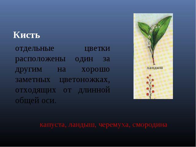 Кисть отдельные цветки расположены один за другим на хорошо заметных цветонож...