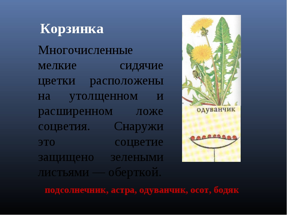 Корзинка Многочисленные мелкие сидячие цветки расположены на утолщенном и рас...
