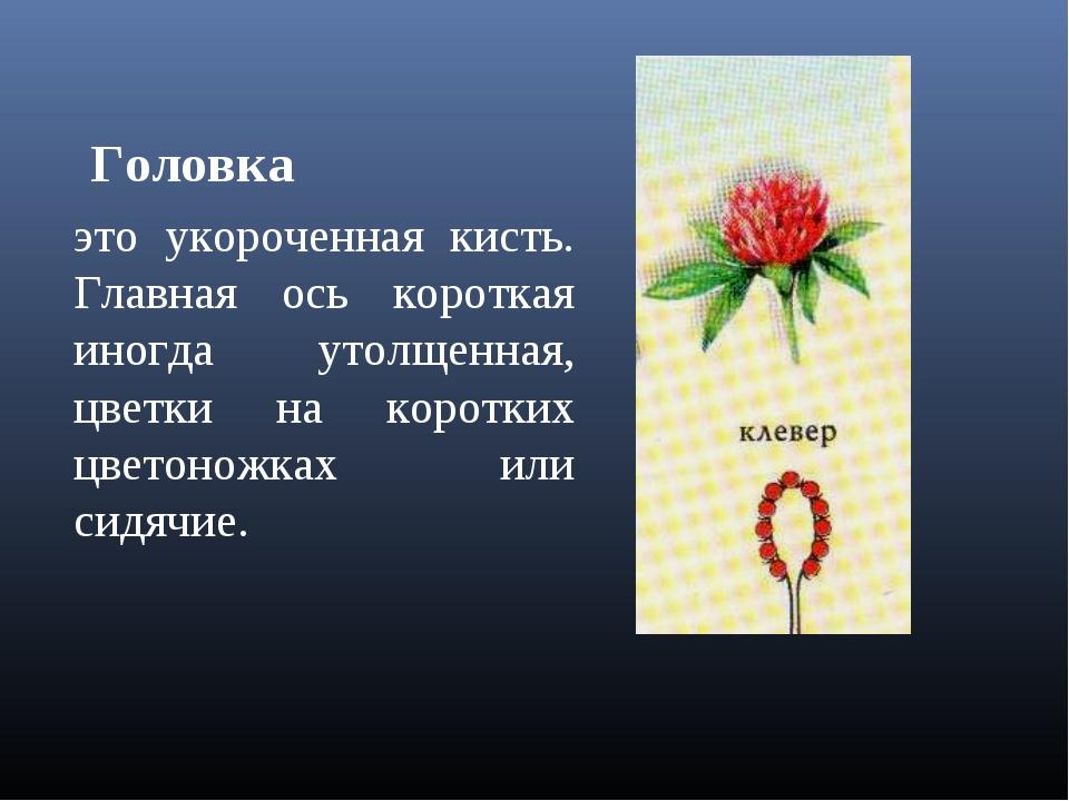 Головка это укороченная кисть. Главная ось короткая иногда утолщенная, цветки...