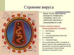 Строение вируса Вирус после образования, выходя из лимфоцита, открывает часть