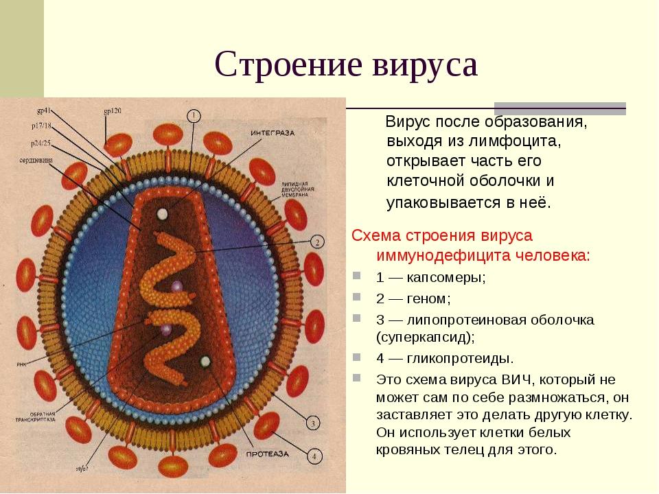 Строение вируса Вирус после образования, выходя из лимфоцита, открывает часть...