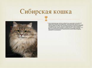 Сибирская кошка Невская маскарадная кошка отличается от Сибирской только свои