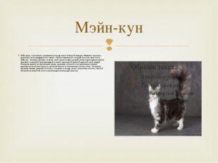 Мэйн-кун Мэйн-куны - естественно сложившаяся порода кошек Северной Америки. Н