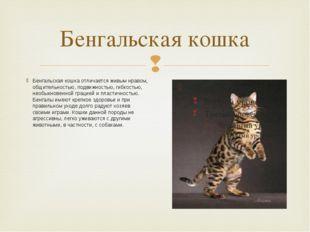 Бенгальская кошка Бенгальская кошка отличается живым нравом, общительностью,