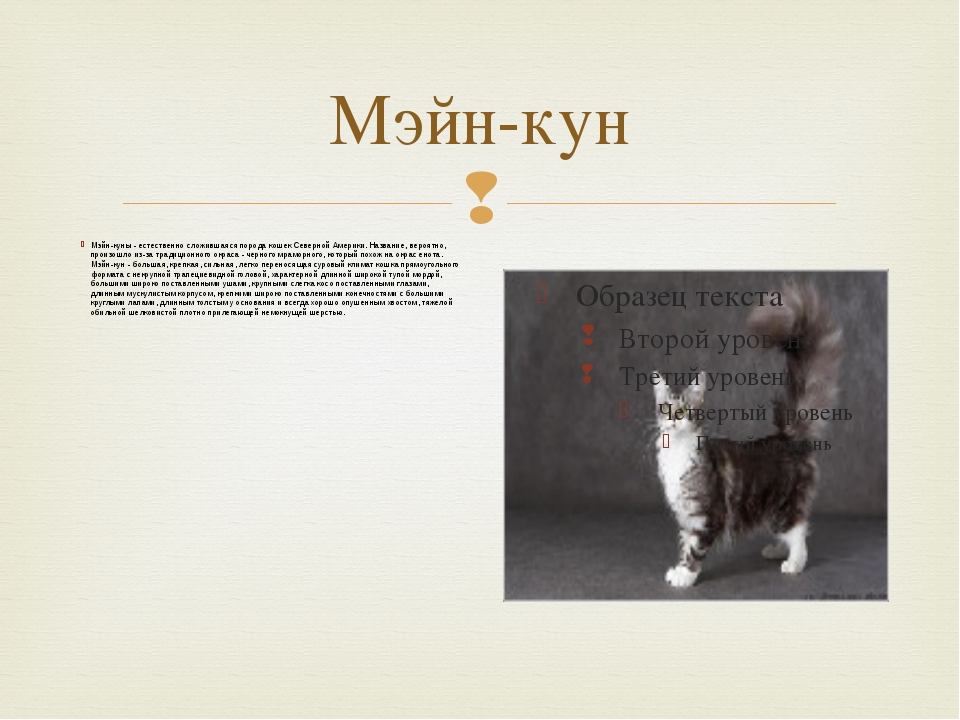 Мэйн-кун Мэйн-куны - естественно сложившаяся порода кошек Северной Америки. Н...