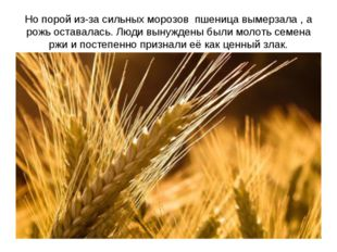 Но порой из-за сильных морозов пшеница вымерзала , а рожь оставалась. Люди вы