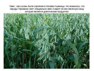 Овес , как и рожь была сорняком в посевах пшеницы. Но оказалось, что народы Г