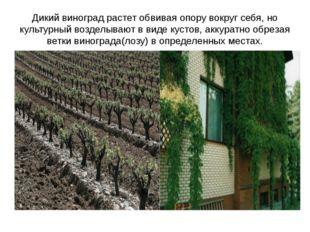 Дикий виноград растет обвивая опору вокруг себя, но культурный возделывают в