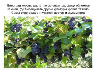 Виноград хорошо растет по склонам гор, среди обломков камней, где выращивать