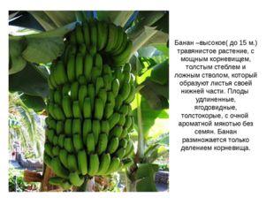 Банан –высокое( до 15 м.) травянистое растение, с мощным корневищем, толстым