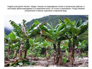 Родина культурного банана –Индия. Раньше его выращивали только в тропических