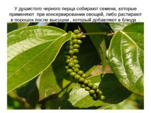 У душистого черного перца собирают семена, которые применяют при консервирова
