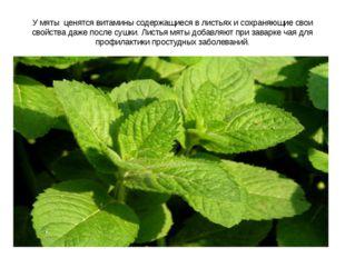У мяты ценятся витамины содержащиеся в листьях и сохраняющие свои свойства да