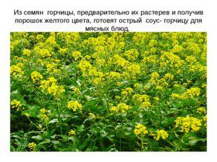 Из семян горчицы, предварительно их растерев и получив порошок желтого цвета,