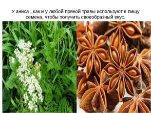 У аниса , как и у любой пряной травы используют в пищу семена, чтобы получить