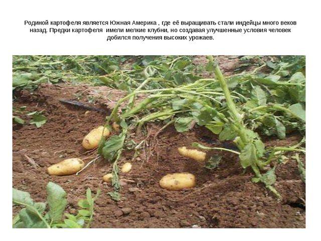 Родиной картофеля является Южная Америка , где её выращивать стали индейцы мн...