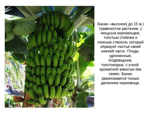 Банан –высокое( до 15 м.) травянистое растение, с мощным корневищем, толстым...
