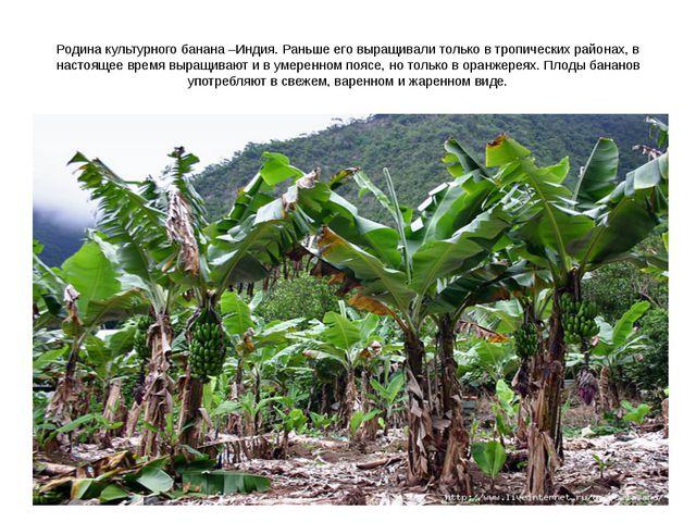Родина культурного банана –Индия. Раньше его выращивали только в тропических...