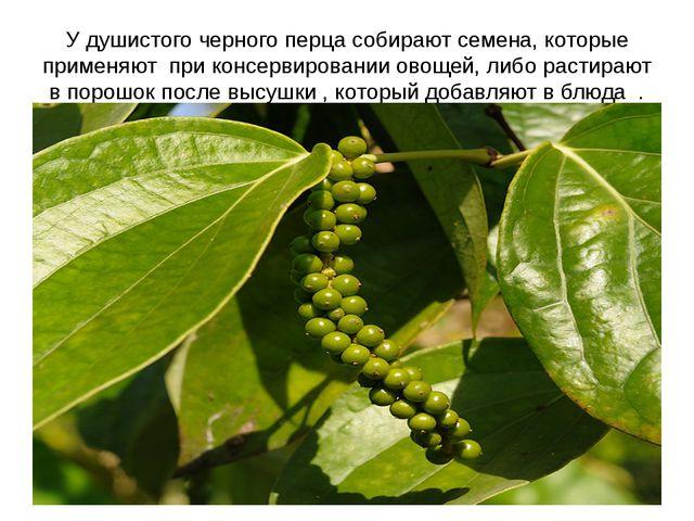 У душистого черного перца собирают семена, которые применяют при консервирова...