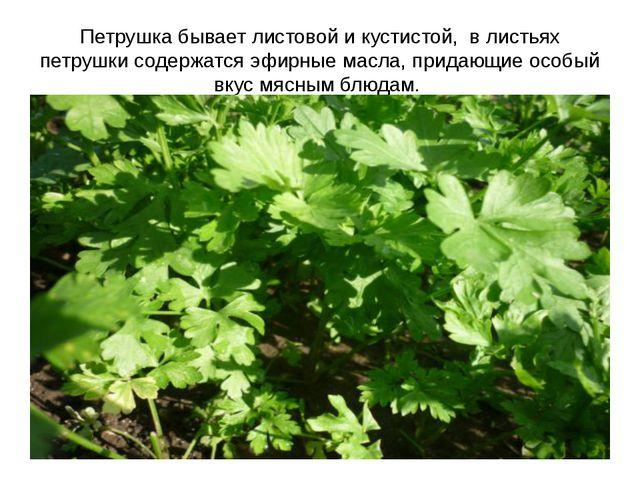 Петрушка бывает листовой и кустистой, в листьях петрушки содержатся эфирные м...