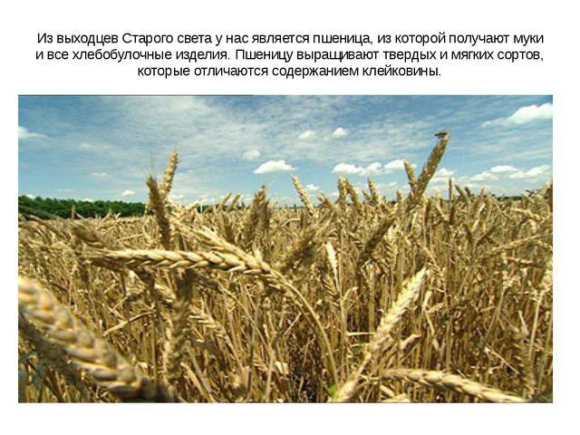 Из выходцев Старого света у нас является пшеница, из которой получают муки и...