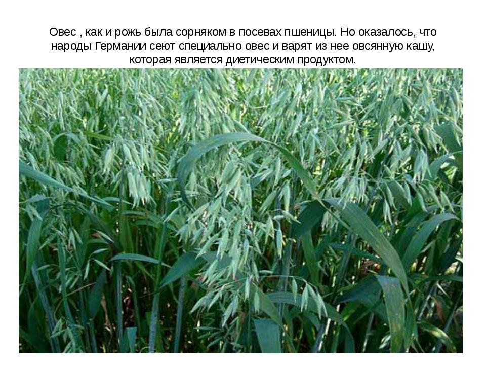 Овес , как и рожь была сорняком в посевах пшеницы. Но оказалось, что народы Г...