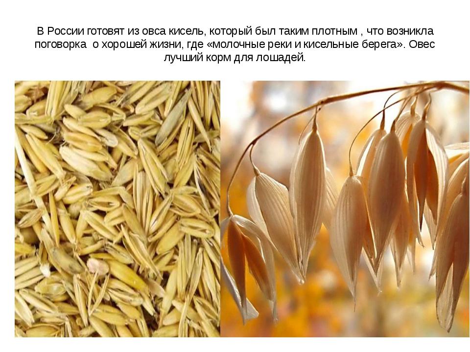 В России готовят из овса кисель, который был таким плотным , что возникла пог...