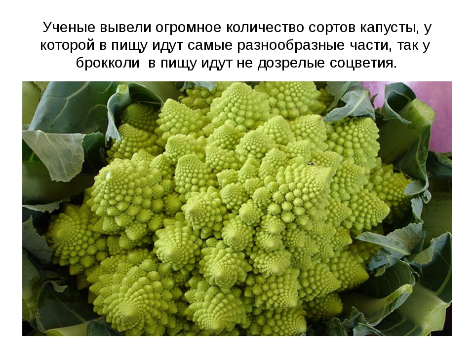 Ученые вывели огромное количество сортов капусты, у которой в пищу идут самые...