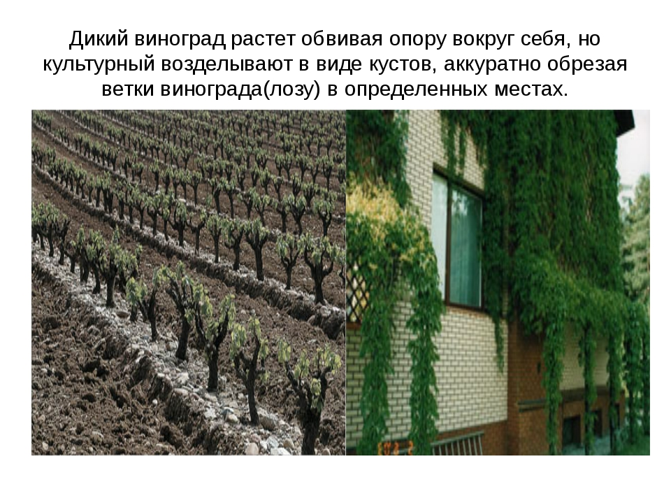 Дикий виноград растет обвивая опору вокруг себя, но культурный возделывают в...