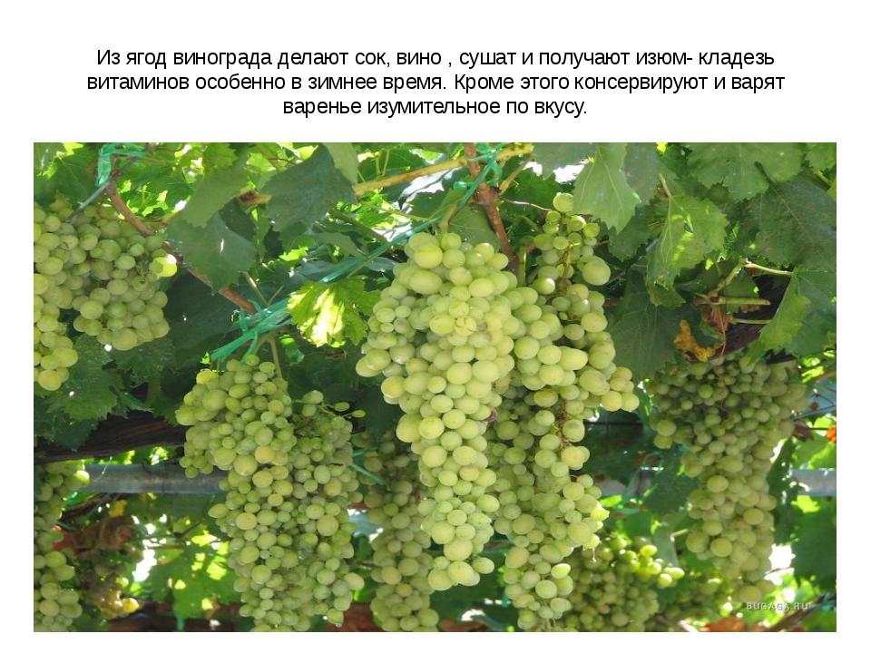 Из ягод винограда делают сок, вино , сушат и получают изюм- кладезь витаминов...