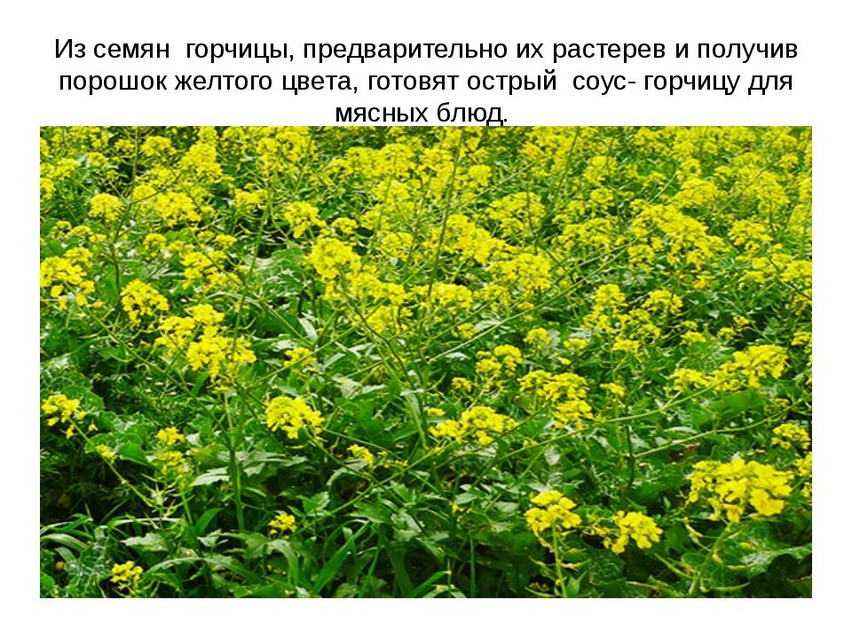Из семян горчицы, предварительно их растерев и получив порошок желтого цвета,...