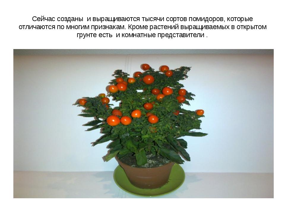 Сейчас созданы и выращиваются тысячи сортов помидоров, которые отличаются по...