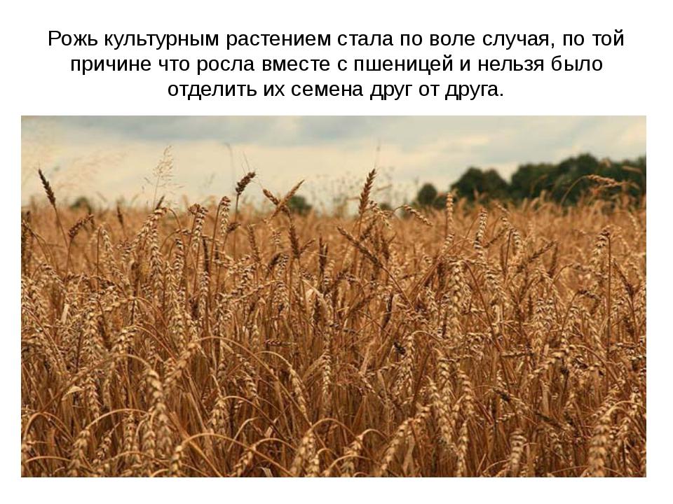 Рожь культурным растением стала по воле случая, по той причине что росла вмес...