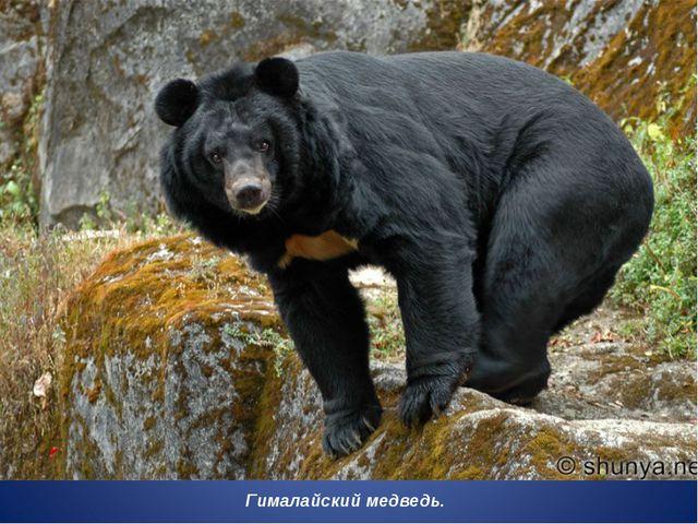 Гималайский медведь.