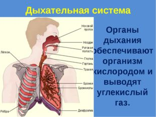Дыхательная система Органы дыхания обеспечивают организм кислородом и выводят