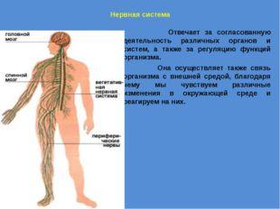 Нервная система Отвечает за согласованную деятельность различных органов и с