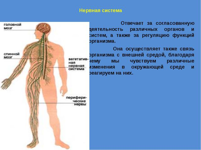 Нервная система Отвечает за согласованную деятельность различных органов и с...